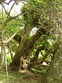Flickr - brewbooks - Ficus near Volcanic Plug.jpg