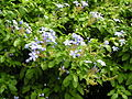 Flickr - brewbooks - Plumbago auriculata - Cathedral Square.jpg