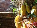 Flickr - don macauley - Yellow fruits.jpg