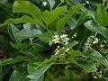 Flindersia australis 1.jpg
