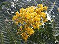 Flor de Senna spectabilis (2).jpg