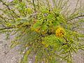 Flora del Cerro del Muerto, Aguascalientes 08.JPG