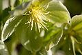 Flower, Corsican hellebore - Flickr - nekonomania (2).jpg