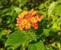 Flower after rain in badulla.jpg