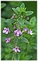 Flowering Thymus vulgaris.jpg