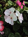 Flowers - Uncategorised Garden plants 132.JPG