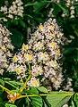 Flowers of Aesculus hippocastanum.jpg
