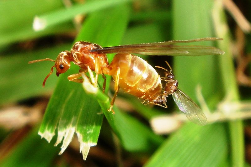 flying ants, mating on a blade of grass