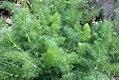 Foeniculum vulgare 5zz.jpg
