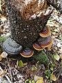 Fomitopsis pinicola 94749061.jpg