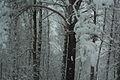 Forest near Ob river in Altai Region 41.JPG