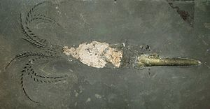 Belemnoidea - A belemnoid fossil with preserved guard, mantle remnants, and arm hooks