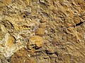 Fossiliferous sandstone (Vinton Member, Logan Formation, Lower Mississippian; Hanover Pit, Licking County, Ohio, USA) 2 (47508069432).jpg
