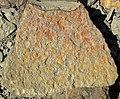 Fossiliferous sandstone (Vinton Member, Logan Formation, Lower Mississippian; Route 16 roadcut northeast of Frazeysburg, Ohio, USA) 2 (40643399171).jpg