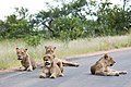 Four beautiful lions on the road to Olifants (2367420826).jpg