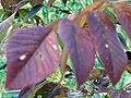Fraxinus americana 5zz.jpg