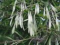 Fraxinus japonica4.jpg