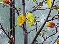 Fremontodendron californicum1.jpg