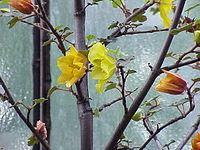 Fremontodendron californicum1