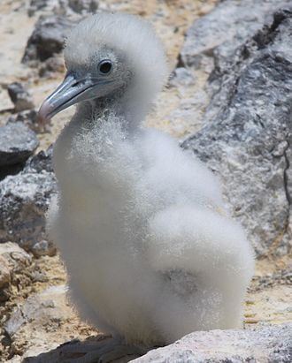 Ascension frigatebird - Chick