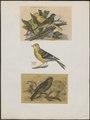 Fringilla canaria - 1700-1880 - Print - Iconographia Zoologica - Special Collections University of Amsterdam - UBA01 IZ16000055.tif