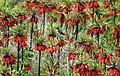 Fritillaria valley, Golestan Kuh, Khvansar County (1391022419201145).jpg