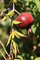 Fruit trees עצי פרי (17).JPG