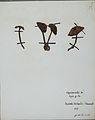Fungi agaricus seriesI087.jpg