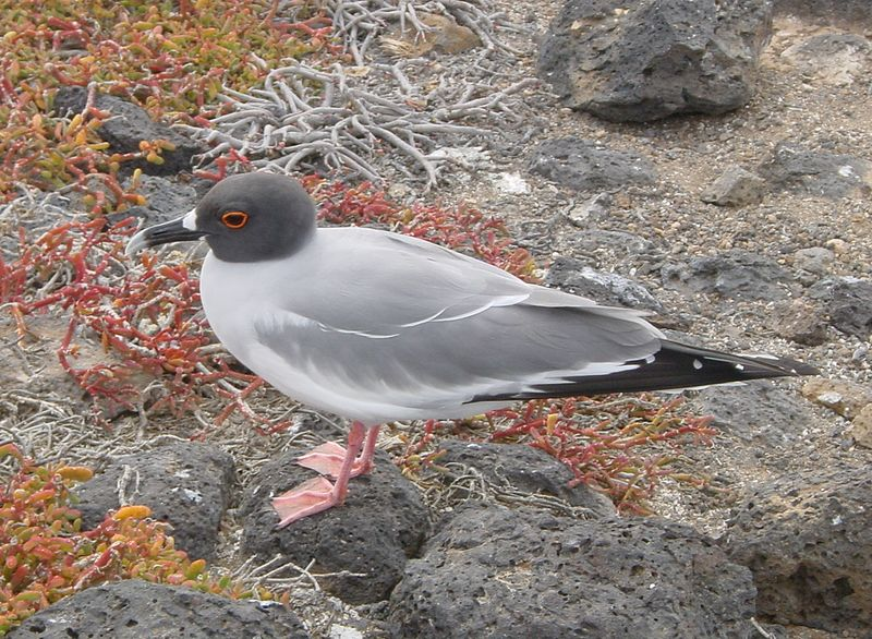 File:Gabelschwanzmöwe (Swallow-tailed Gull).jpg