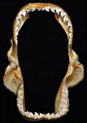 Tiger shark - Image: Galeocerdo cuvier jaws 2