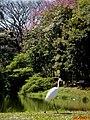 Garça Branca Grande(Casmerodius albus) no Parque do Lagoa em Altinópolis - panoramio (3).jpg