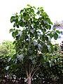 Gardenology.org-IMG 2550 ucla09.jpg