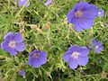 Gardenology.org-IMG 6870 hunt09jun.jpg