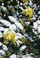Garten Valentinhaus Mahonia 08.jpg