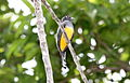 Gartered Trogon (Trogon caligatus) female (4505562348).jpg
