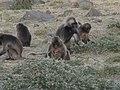 Gelada Baboons, Debre Libanos, Ethiopia - panoramio - MarcD..jpg