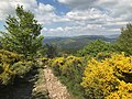 Genêts en fleurs en Haute Ardèche (France).jpg
