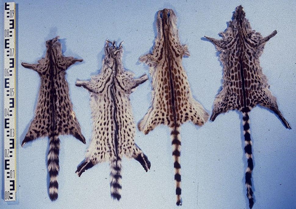 Genetta genetta & genetta tigrina fur skins