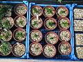 Gentiana punctata seedlings (13900812284).jpg