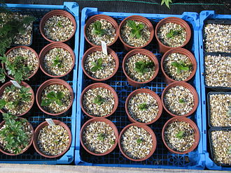 Plant propagation - Gentian seedlings in a plant nursery