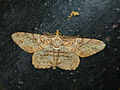 Geometrid Moth (Cleora repetita ?) (15497662670).jpg