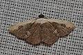 Geometridae (15076955809).jpg