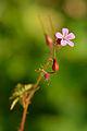 Geranium robertianum - haisev kurereha.jpg