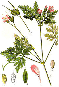 Geranium robertianum Sturm7