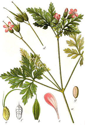 Description de l'image Geranium robertianum Sturm7.jpg.