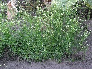 Acker-Spark (Spergula arvensis)