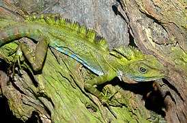 Giant Forest Dragon (Gonocephalus grandis) (8741730766).jpg