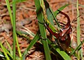 Giant Stag Beetle (Elk Stag Beetle) (47995064356).jpg