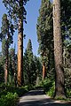 Giant sequoias in Giant Sequoia National Monument-3.jpg