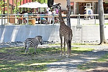 Masai giraffe and plains zebra